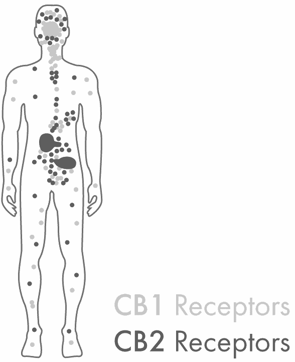 Illustration showing CB1 and CB2 Receptors