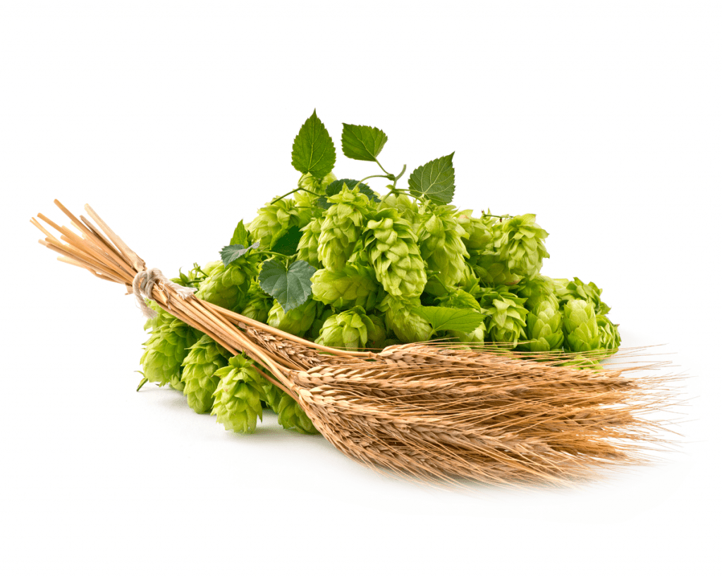 Hops on a white background, relating to the terpene Humulene found in CBD.