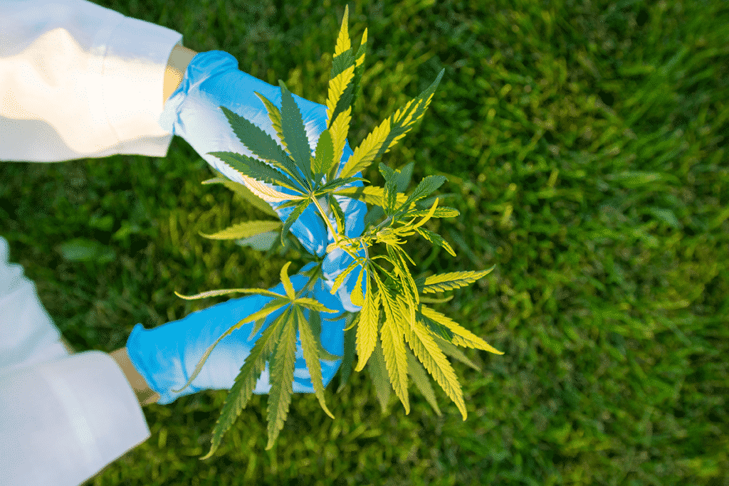 Woman hands in white coat and blue medical gloves holding green branch cannabis with five fingers leaves, to show cannflavin flavonoids