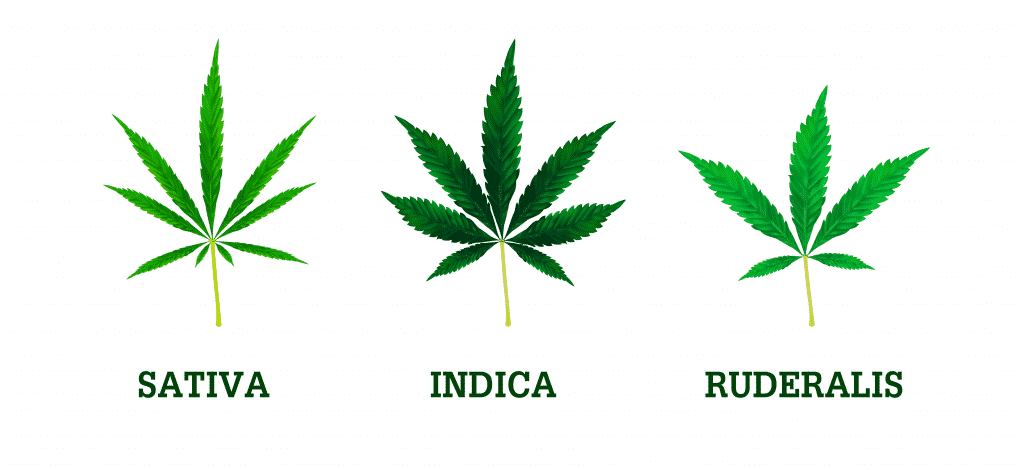 Cannabis strains. sativa, indica and ruderalis leaves. Realistic vector illustration of the plant isolated on white background.