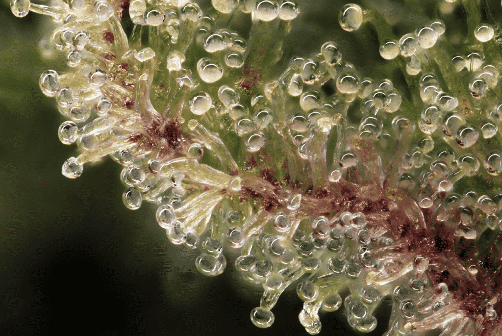 Macro photo of trichomes on a cannabis plant.