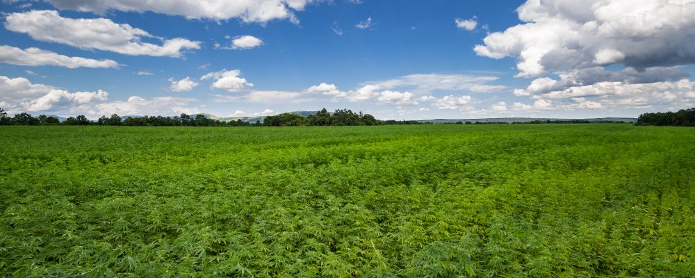 Sustainably farmed Cannabis Sativa L. crops