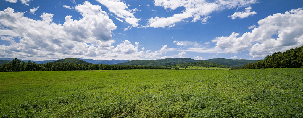 Image of Dragonfly Cbd's crops. Large, field filled with cannabis plants, with a blue sky and clouds above.